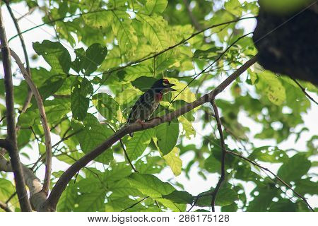 Coppersmith Barbet Is On The Branches In Nature
