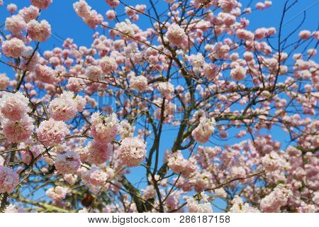 A Spring Cherry Blossoms, Pink Flowers. Japan