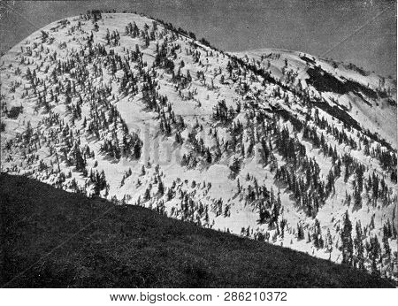 Forest of conifers on the snowy peaks of Sierra Nevada, vintage engraved illustration. From the Universe and Humanity, 1910.