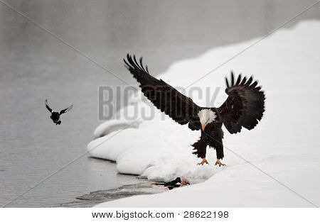Bald Eagle Haliaeetus leucocephalus landed on snow with wings spread backward poster