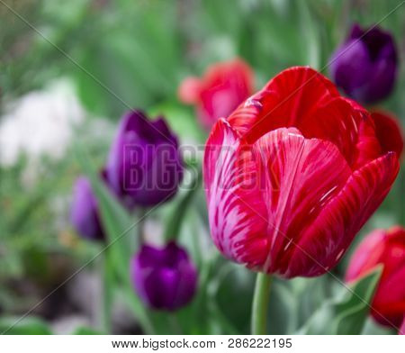Tulip Flower.flower In Garden At Sunny Summer Or Spring Day. Flower For Postcard Beauty Decoration A