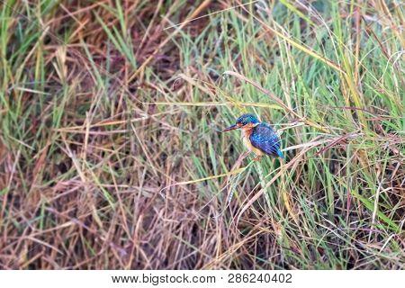 A malachite kingfisher on a riverbank in the Masai Mara, Kenya.