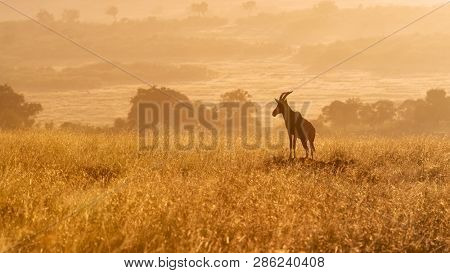 Topi standing on a mound in the early morning sunlight, Masai Mara, Kenya.