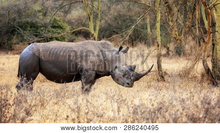 White rhinoceros, Ceratotherium simum,in the fever tree forest of Lake Nakuru National Park, Kenya. A small oxpecker bird is perched on his back.