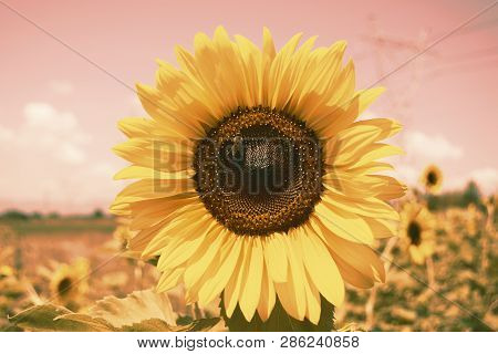 Vintage Sunflowers Texture And Background For Designers. Sunflowers Field Background In Vintage Styl