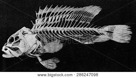 Skeleton of a bony fish, vintage engraved illustration. From the Universe and Humanity, 1910.