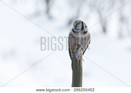 Northern Hawk Owl  Captures A Field Mouse, Hunting In Winter, At Vancouver Bc Canada