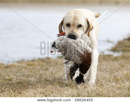 Yellow Labrador hunting
