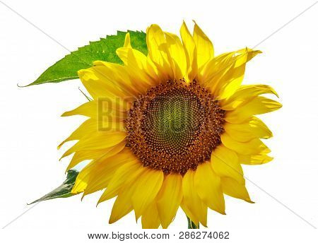 Bright Yellow Sunflower Flower Isolated On White Background. Sunflowers Sun Flowers. Sunflower