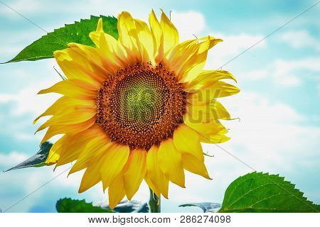 Bright Yellow Flower Of A Sunflower Against The Blue Sky. Sunflowers Sun Flowers. Sunflower Outdoors