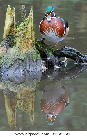 Wood-duck On A Log