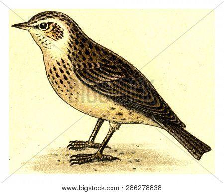 Skylark, vintage engraved illustration. From Deutch Birds of Europe Atlas.