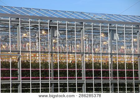 Greenhouse With Tomato Plants Nursery With Orange Lights On Top And Led Lights In Between For Faster