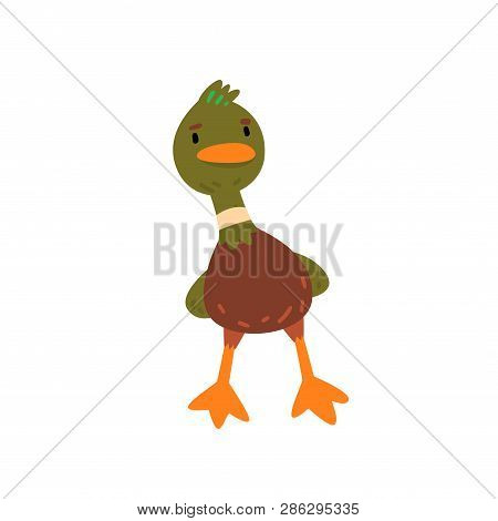 Male Mallard Duck, Cute Funny Duckling Cartoon Character Front View Vector Illustration