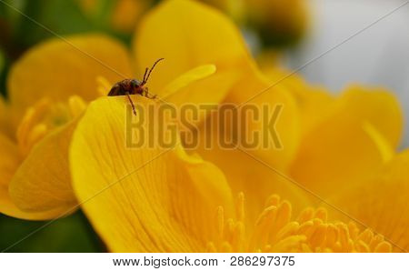 A Small Bug Climbing Over The Edge Of A Blossom Of A Water Plant.