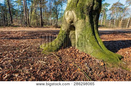 Trunk And Roots Of An Old Beech Tree In A Forest. The Soil Is Strewn With Fallen Leaves And Cupules