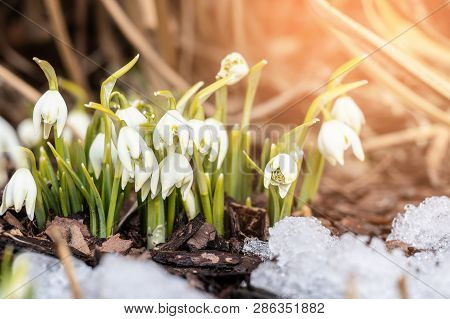 Beautiful First Spring Flowers - White Snowdrops