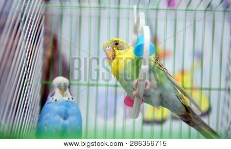 Funny Budgerigar In A Cage At The Window. Green Budgie In Birdcage. Homes Pet. Colorful Parrot In A
