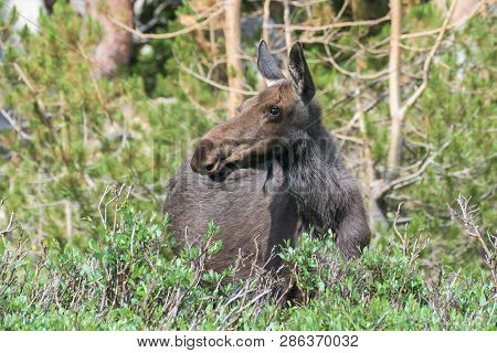 Wild Moose Living In The Forests Of The Colorado Rocky Mountains