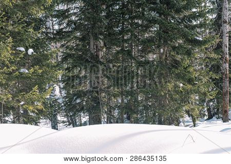 Taiga In The Winter. Forest In Winter. Closeup Of Winter Forest. Conifers Under The Snow. S