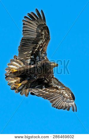 A Juvenile Bald Eagle In Flight Flying