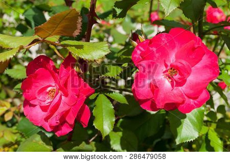Spring flower landscape. Rose flowers in the spring garden, closeup. Spring flower of red roses under spring sunlight