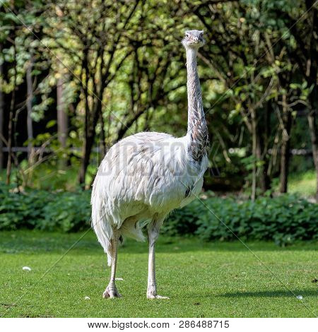 The Emu, Dromaius Novaehollandiae Is The Second-largest Living Bird By Height, After Its Ratite Rela