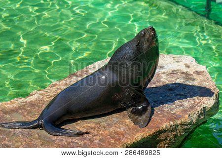 The California Sea Lion (zalophus Californianus) At A Water.