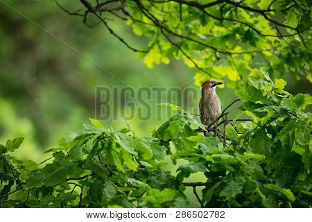Garrulus Glandarius. The Wild Nature Of The Czech Republic. Free Nature. Picture Of A Bird In Nature