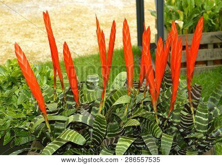Amazonian Zebra Plant Latin Name Aechmea Chantinii, A Common Bromeliad Grown Indoors