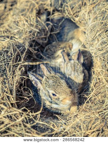 A few weeks-old baby rabbits in their nest found in a vegetable garden