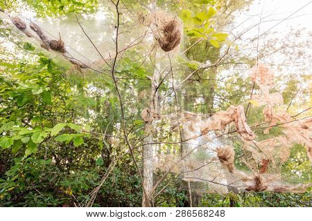Fall webworm webbing around trees in Red River Gorge in Kentucky