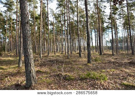Spring Season In A Woodland With Pine Trees