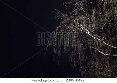 Large White Birch Branches Without Leaves On A Dark Background.