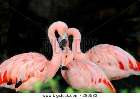 Mother Flamingo