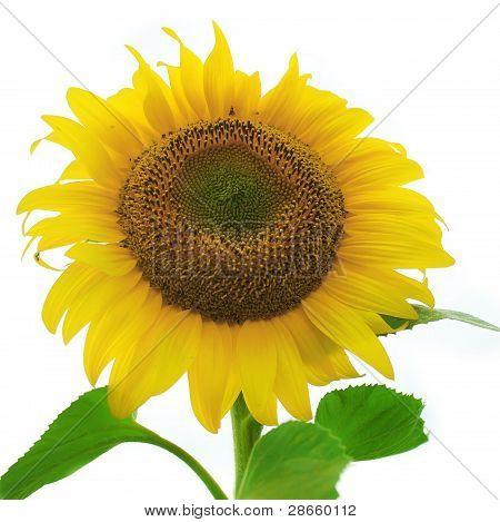 Ripe sunflower isolated on white