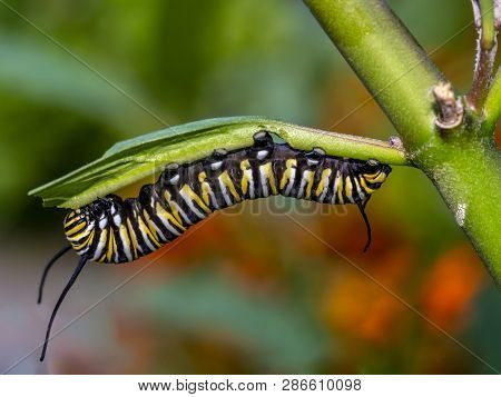 Caterpillar Of  Monarch Butterfly In Late Summer