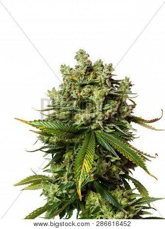 Popular Strain Of Cannabis