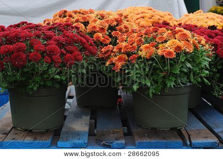 Red and orange autumn chrysanthemums