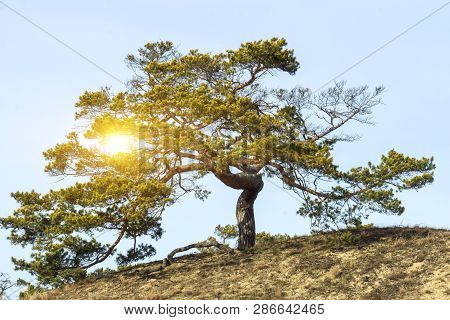 Tree With Gnarled Branches On Hill Under Blue Sky Horizontal With Flare