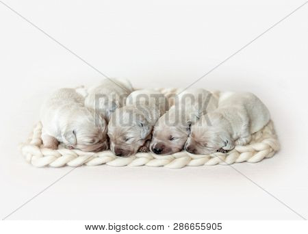 Closeup of cute fluffy newborn golden retriever puppies sleeping together on the woolen knitted blanket