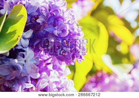 Spring background with lilac flowers in spring bloom. Blooming lilac flowers, lilac branch lit by sunlight. Selective focus at the central lilac spring flowers