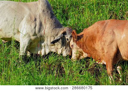 Close-up Ox Grazing On Green Field In Farm Area. Agricultural Production Of Bovine Animals. Front Vi