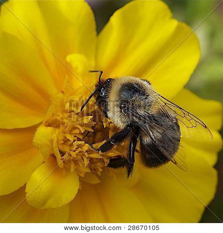 Bee,macro.