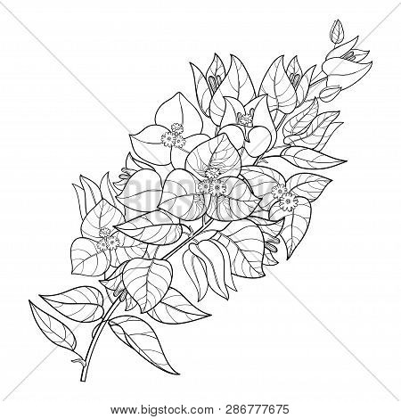 Vector outline Bougainvillea or Buganvilla flower bunch with bud and leaf in black isolated on white background. Tropical ornate Bougainvillea branch in contour for summer design or coloring book. poster