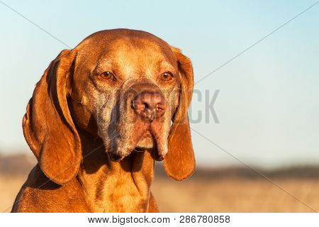 Hungarian pointer Vizsla. Old dog. Loyal friend. Hound. Portrait of a hunter. poster