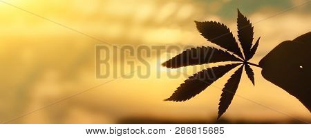 Cbd Cannabis Leaf Close-up On Background Of Setting Sun With Rays Of Light. Copy Space. Thematic Pho
