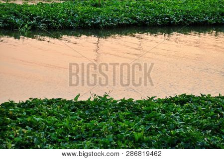 Waterplant Growing On The River Surface With Water View At Dusk Time