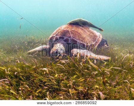 Green Sea Turtle Eating Seagrass - Akumal, Mexico