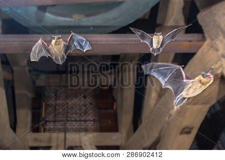 Three Pipistrelle Bats (pipistrellus Pipistrellus) Flying In Church Tower